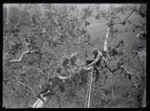 Photograph of H. T. Bohlman and William Finley photographing an eagle's nest (1904)